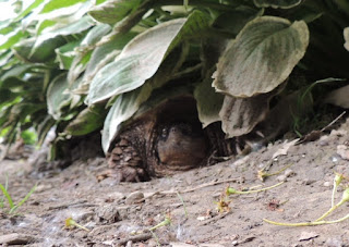 Large female turtle hiding  after laying eggs in Northeast Ohio.