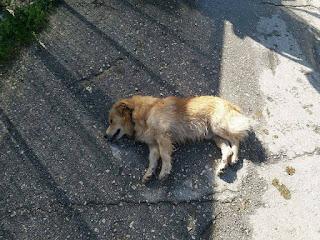 Καταγγελία για δηλητηρίαση σκύλων σε Λούρο και Ωρωπό – Έντονες αντιδράσεις αλλά και ανησυχία στην τοπική κοινωνία