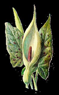 flower wildflower digital image botanical art