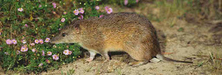 Bunn's Short-tailed Bandicoot Rat