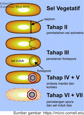 gambar dan tahapan pembentukan endospora pada reproduksi bakteri