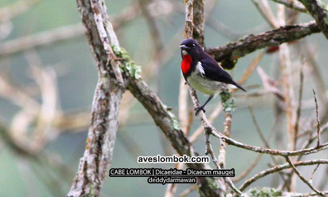 Cabai Lombok, Red-chested Flowerpecker, Dicaeum maugei