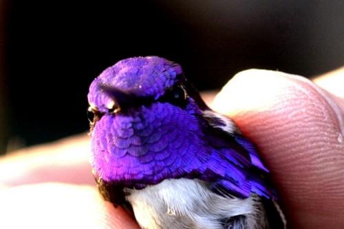 Purple Colored Birds