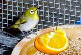 Rahasia Makanan burung Pleci yang Gacor Ala Master