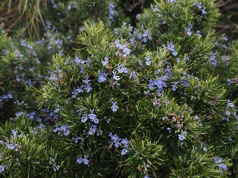 Rosemary yaitu sebuah tumbuhan yang banyak dijadikan bumbu masakan khususnya di masyarakat 10 Manfaat daun rosemary kepada kesehatan dan kecantikan