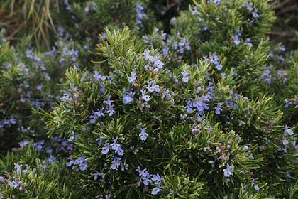 10 Manfaat daun rosemary untuk kesehatan dan kecantikan