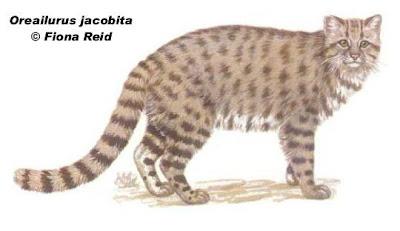 Gato andino Leopardus jacobita