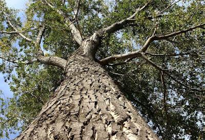 Divulgando la Naturaleza Aragonesa - Chopo El Abuelo