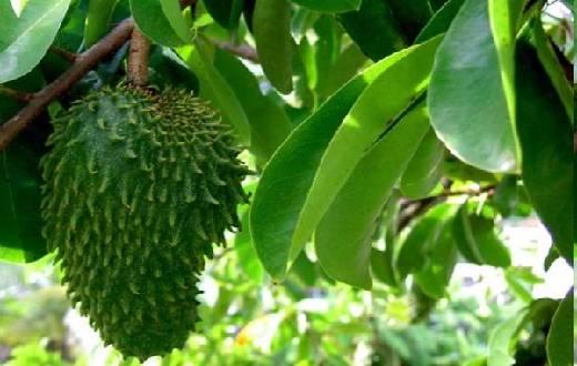 Beragam khasiat dan  manfaat buah sirsak bagi kesehatan diantaranya untuk menurunkan asam urat, kolesterol, kanker, diet, dll. Simak penjelasan ilmiahnya di sini !