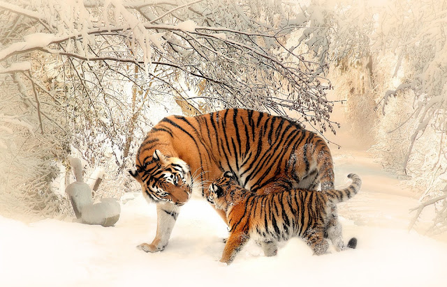 Adult and Cub Tiger on Snowfield Near Bare Trees In Winter Season HD Wallpaper