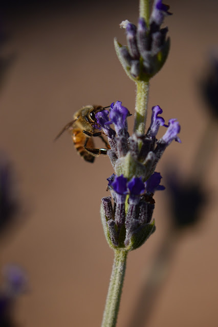 amy myers, photography, bee, lavender, desert garden, journal of a thousand things
