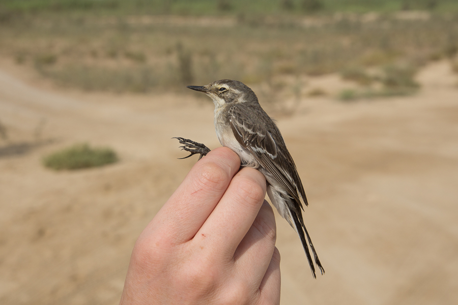 First year Citrine Wagtail a new Saudi Arabia ringing species – Sabkhat Al Fasl