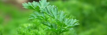 Plante Ornementale : le Persil