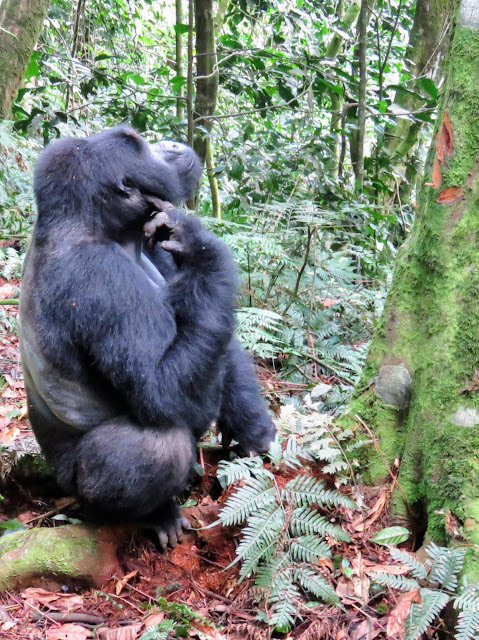 Silverback mountain gorilla contemplating following a female up a tree in Uganda