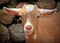 ternak yang paling cepat, ternak paling cepat, ternak cepat berhasil, ternak kambing, kambing, ternak waktu singkat