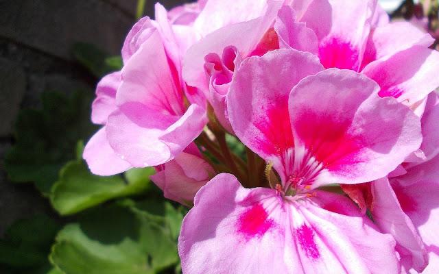 Bureaublad achtergrond met prachtige roze bloemen
