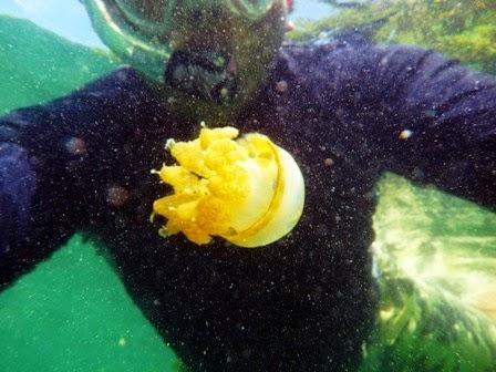 Ukuran ubur-ubur yang besar