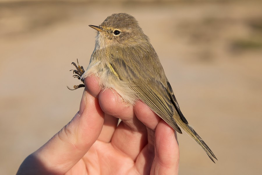 Common Chiffchaff - abietinus