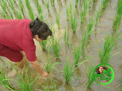 Ngayuman / sulam tanaman padi
