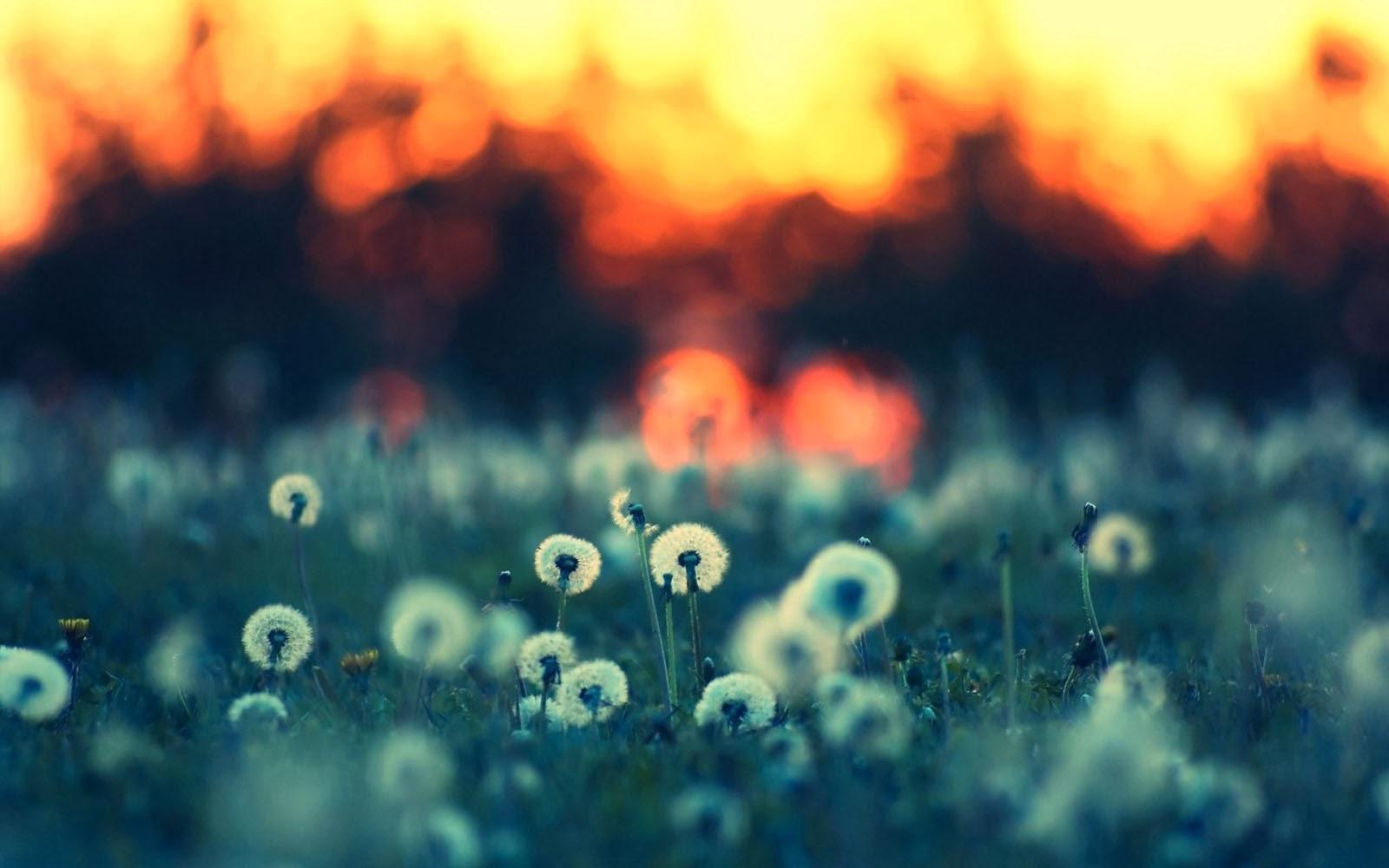 wallpapers: Dandelions In A Field Wallpapers