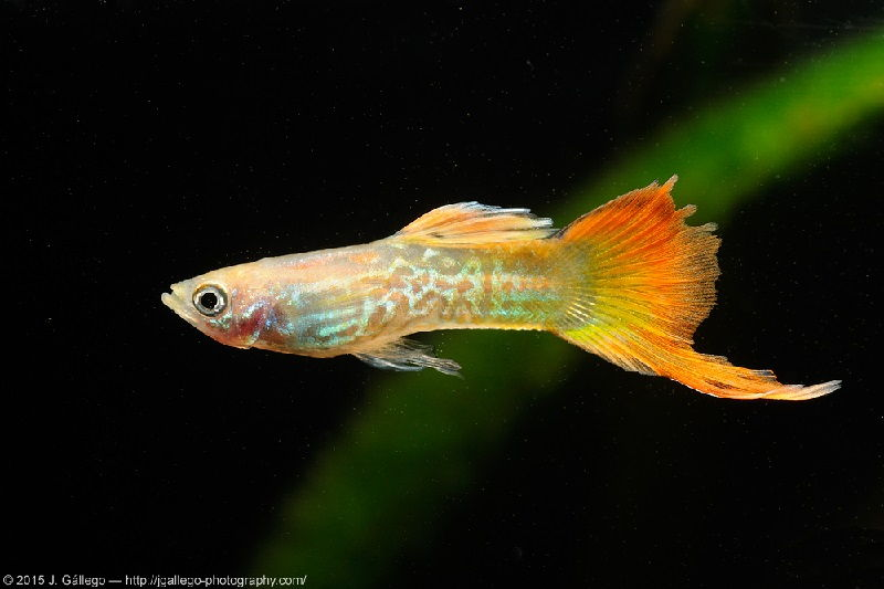 Gambar Ikan Guppy bottom swordtail - Guppy blond snakeskin bottom swordtail