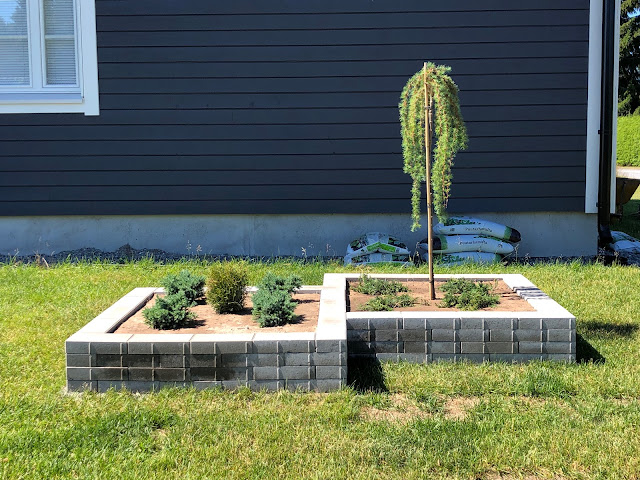 havukasvit, maaperä, riippapuu, japaninriippalehtikuusi, tuijat, katajat, kasvien valinta, istuttaminen, istutus, kukkapenkki, istutusallas, allas, multa, lakka, pihakivet, pihakivi