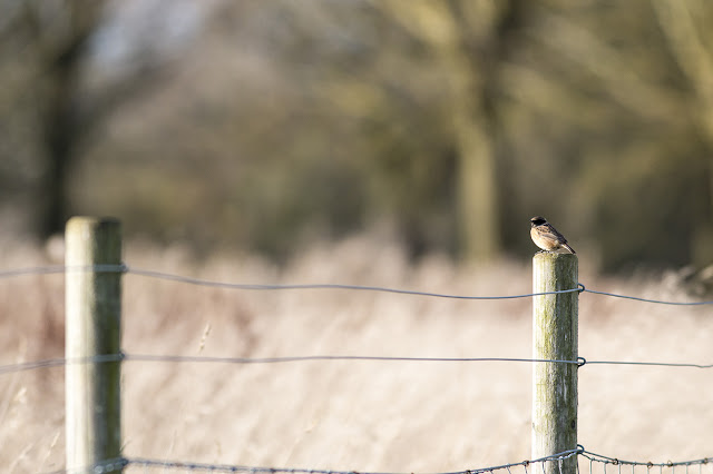 Male Stonechat on a fence post