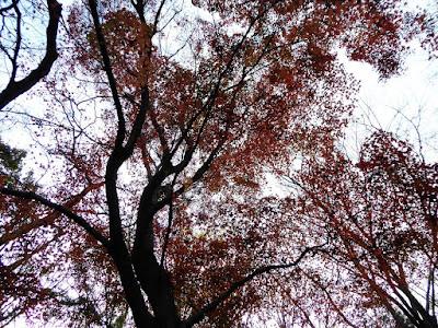 くろんど園地 モミジの紅葉