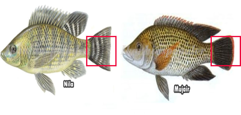 6 Cara Cepat Membedakan Ikan Mujair Dan Ikan Nila Dilihat Dari