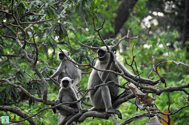 Monos lingures en Parque Nacional de Bardia, Nepal