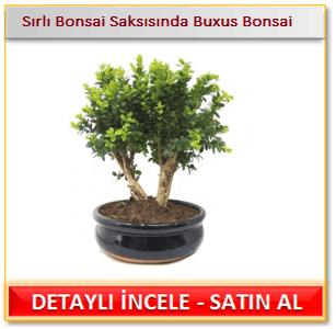 Sırlı Bonsai Saksısında Buxus Bonsai