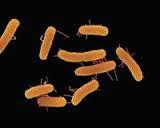 Salmonella thyposa