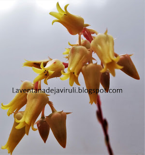 flores-echeveria-agavoides-x-echeveria-colorata