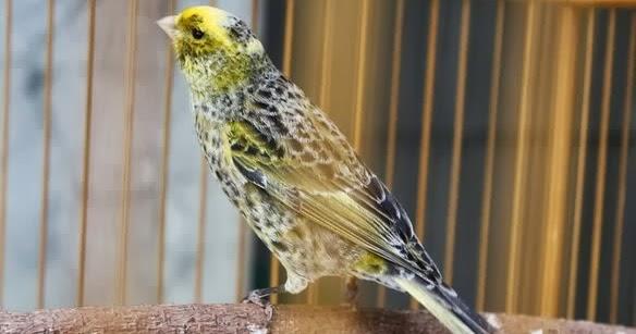 Burung Kenari F1