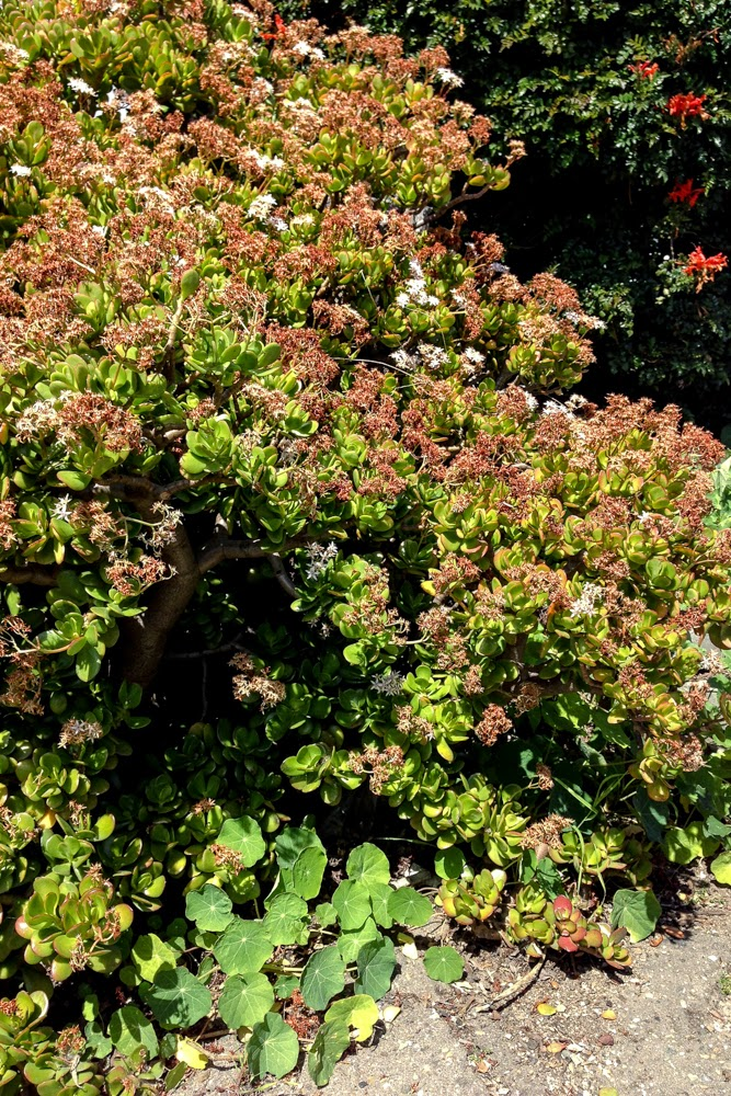 California, crassula