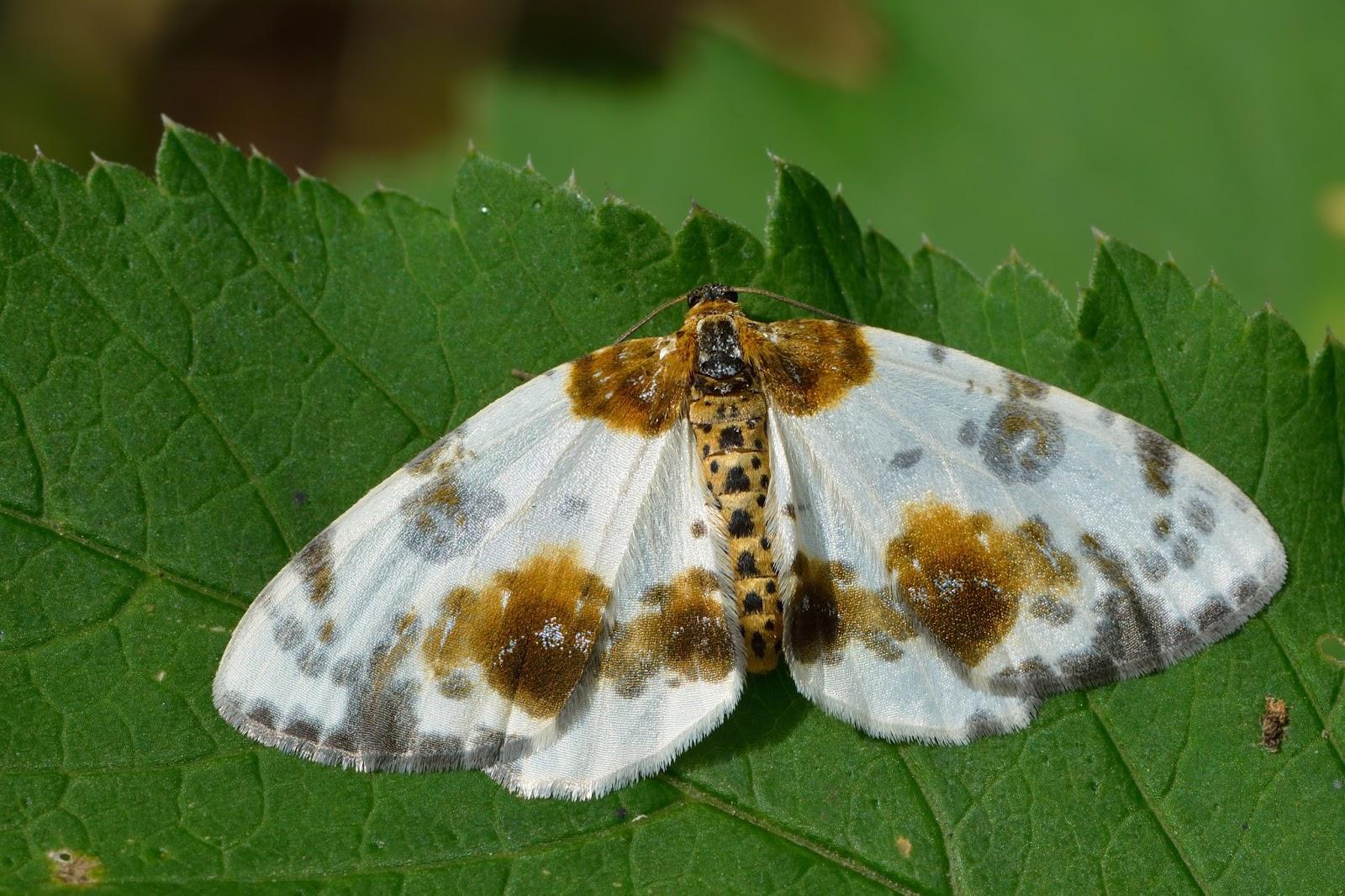 Insects: Abraxas sylvata - Pargi-tähnikvaksik Keila