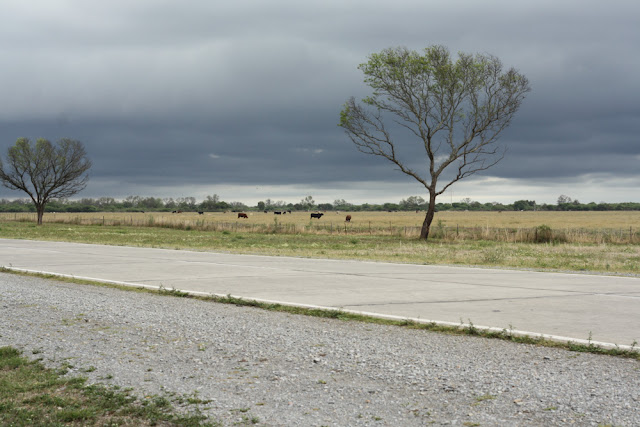 cows argentina route 60