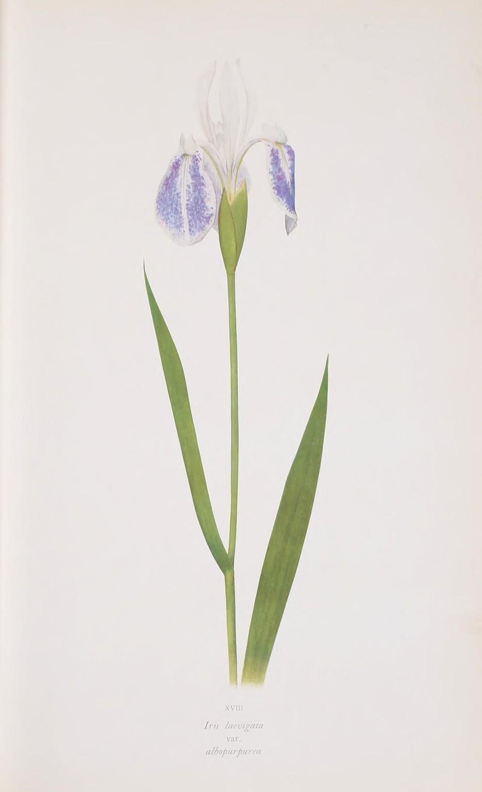 flor de lirio color blanco y azul cielo