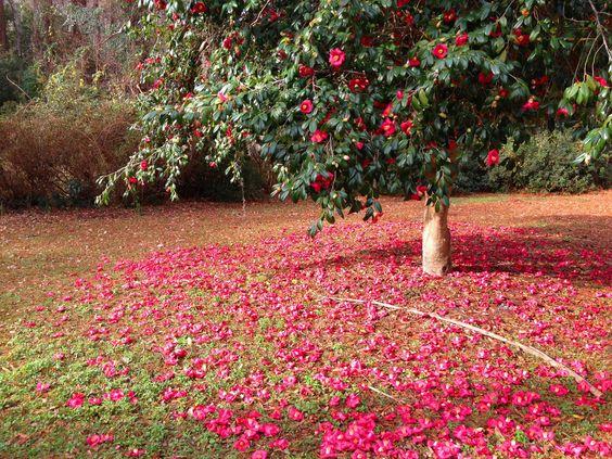 Camellia Flower Wallpaper