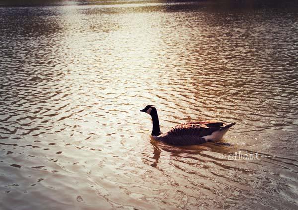Schwimmende Ente im Abendlicht