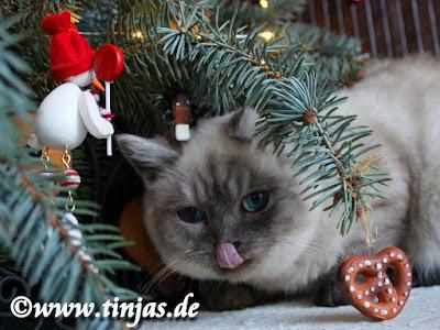 Britisch Kurzhaar unterm Weihnachtsbaum