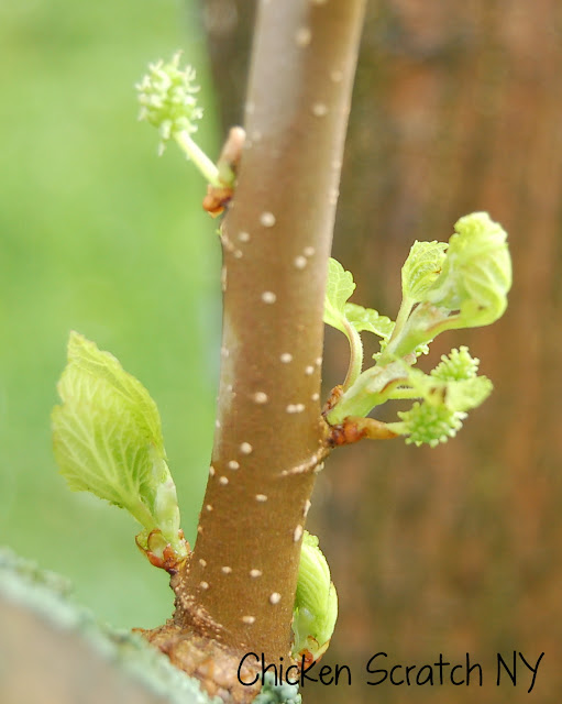 Mulberry Fruit Buds