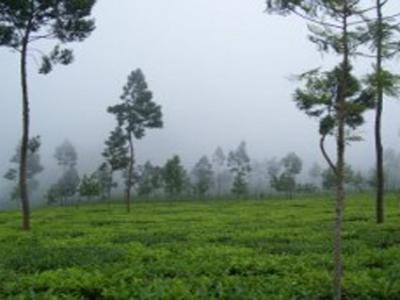 Semugih Tea Plantation