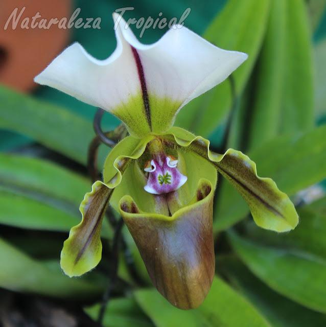 Otra orquídea perteneciente al género Paphiopedilum, conocida popularmente como zapatilla de venus
