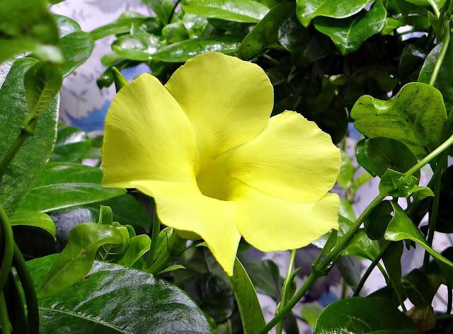 Жълта дипладения градина.бг