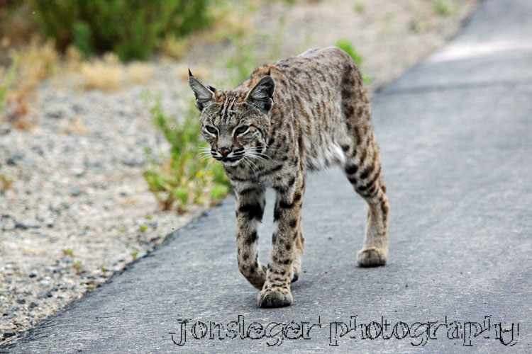 And Bobcat Mix Cat
