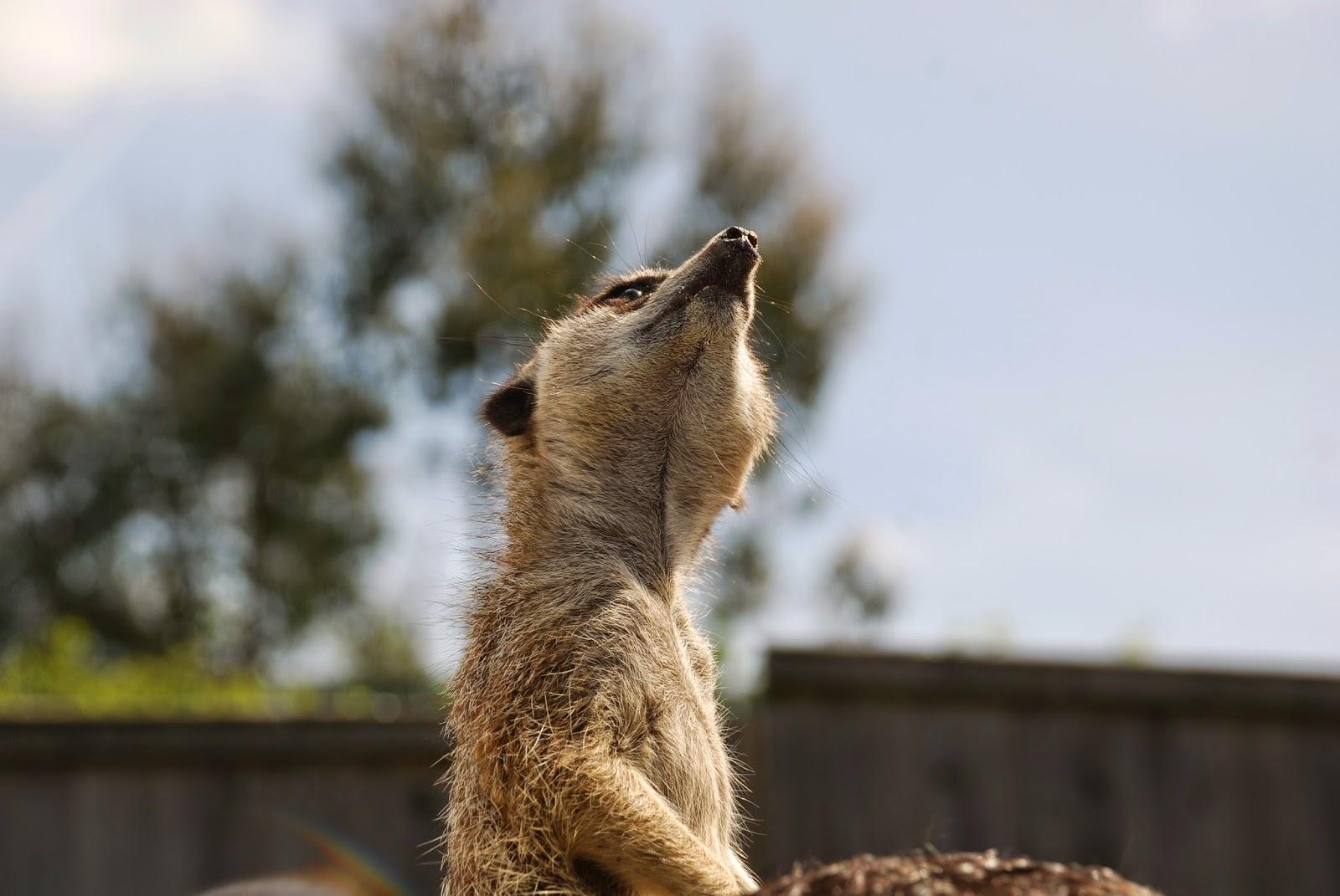 Meerkat looking around at paradise wildlife park