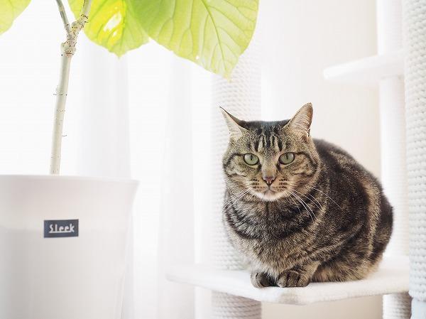 キャットタワーからこっちを見ているキジトラ猫