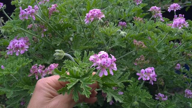 The most interesting health benefits of  scented geranium include its ability to lower stress levels, reduce inflammation, relieve menstrual pain, strengthen the immune system, ease digestion.