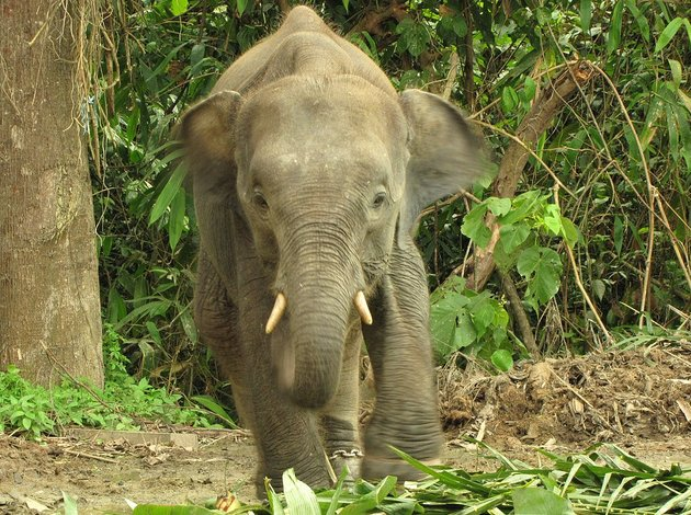 Excitement N Net: Smallest Elephant in the world - Bornean ...